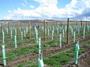 大沢ワインズ ぶどう畑2007年01月10日