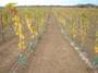 大沢ワインズ ぶどう畑2007年05月14日