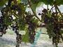 大沢ワインズ 2008年02月15日畑の様子