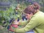 大沢ワインズ 2008年03月03日収穫の様子