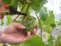 大沢ワインズ 2008年03月26日収穫の様子