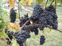 大沢ワインズ 2008年04月03日ブドウの様子
