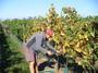 大沢ワインズ 2008年04月04日収穫の様子