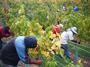 大沢ワインズ 2008年04月12日収穫の様子