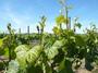 大沢ワインズ 2008年10月20日畑の様子