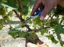 スパークリングワイン用のシャルドネ収穫します