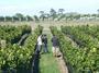 大沢ワインズのぶどう品種