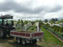 大沢ワインズ ソーヴィニヨン・ブランの収穫