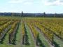 大沢ワインズ 色づき始めたぶどう畑