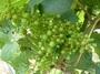 大沢ワインズ 2010年12月23日畑の様子