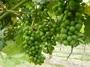 大沢ワインズ 2011年01月08日畑の様子