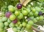 大沢ワインズ 2011年01月20日畑の様子