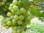大沢ワインズ 2011年02月21日ぶどうの成長具合