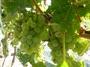 大沢ワインズ 2011年03月17日収穫の様子