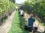 大沢ワインズ 2011年03月25日収穫の様子