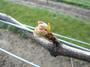大沢ワインズ 2011年10月04日畑の様子