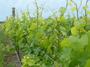 大沢ワインズ 2011年11月23日畑の様子