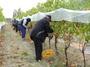 Harvest   /  Pinot Noir