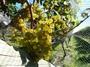 Harvest / Chardonnay