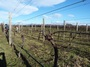 Pruning Our Organic Reserve Pinot Noir