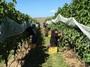 Harvesting Organic Sauvignon Blanc