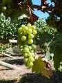 Harvesting Organic Grapes for Sparkling