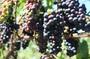 Osawa Oganic Grape