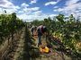 Harvest Organic Grapes